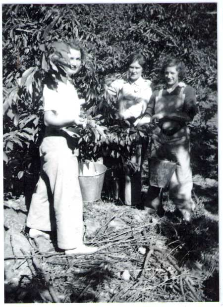 Picking cherries in the early 1940s